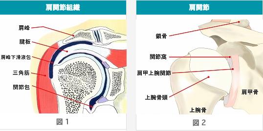 肩関節の仕組み